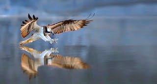 Ospreys, or Pandion haliaetus, are native to Minnesota.